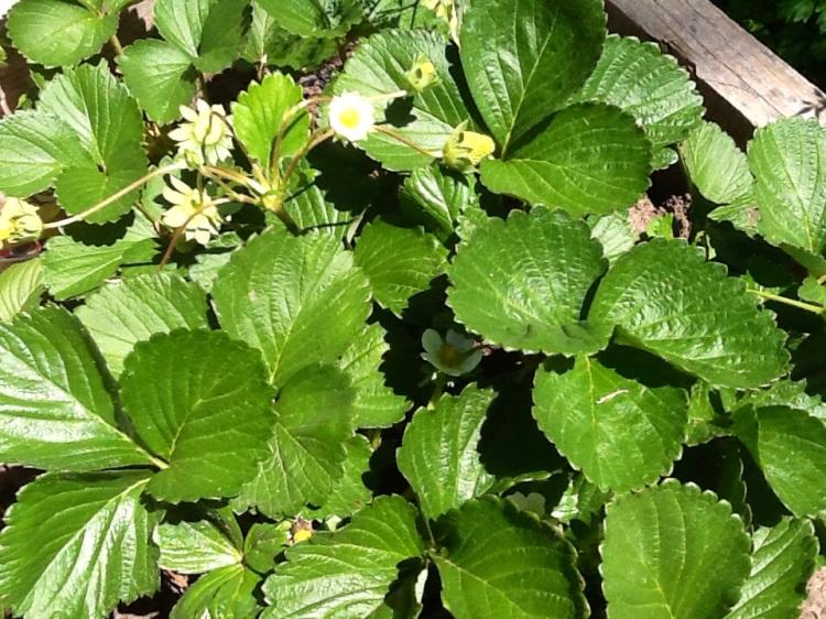 La flor de la planta de frutillas de mi huerta